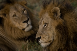 Two Lions - The Kings of the Bush